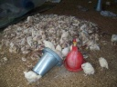 Dead chickens, Jabalia