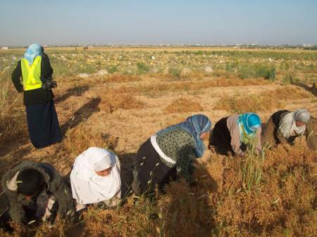 Lentil picking in Khoza'a